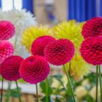 A variety of vibrant pink and yellow Dahlias