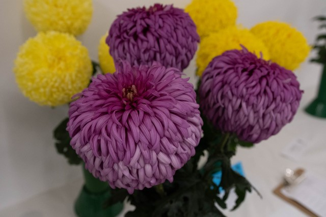 A display of Purple and Yellow Chrysanthemums